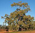 Eucalyptus camaldulensis tree.jpg