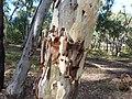 Eucalyptus mannifera bark 1.jpg