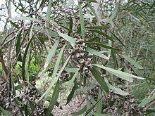 Eucalyptus viridis.JPG