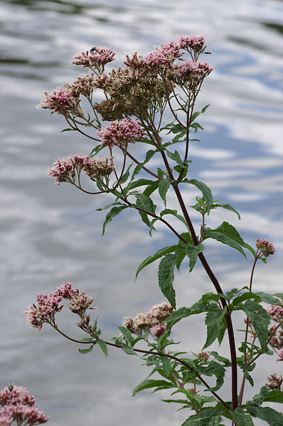 File:Eupatorium-cannabinum Pflanze 107.jpg