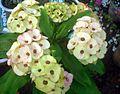 Euphorbia Flower show 9.JPG