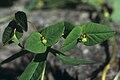 Euphorbia dulcis Zagon Slovenia.jpg