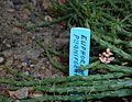 Euphorbia pugniformis 2015-06-16 205.jpg