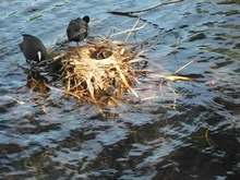 Податотека:Eurasian Coot (Fulica atra) parents with five chicks.ogv