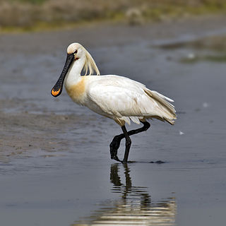 Eurasian spoonbill Species of bird