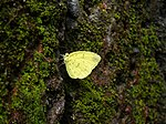 Eurema blanda in Nayikayam Thattu.jpg