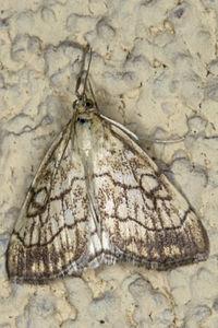 Evergestis pallidata, Lodz(Poland)01(js).jpg