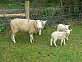 Ewe and lambs, Tetbury Upton - geograph.org.uk - 773941.jpg