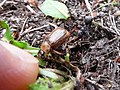 Exomala orientalis attacked by ant - 1.jpg