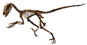 FMNH Deinonychus white background.JPG