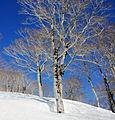 Fagus crenata and snow in Mount Sanpokuzure 2011-04-10.jpg
