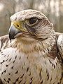 Falco cherrug cherrug (J. E. Gray, 1834).jpg