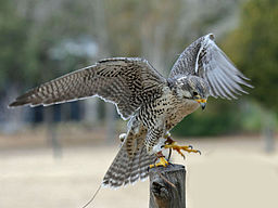Falco mexicanus -Avian Conservation Center, near Charleston, South Carolina, USA-8a