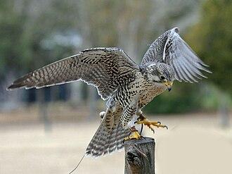 Prairie falcon - Image: Falco mexicanus Avian Conservation Center, near Charleston, South Carolina, USA 8a
