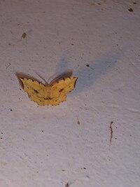 Falter (gelb) Georgien2.jpg