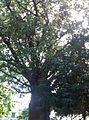 Famoso Baobá - Passeio Público.jpg