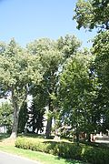 Famous trees Tilia Cordata in Bory, Žďár nad Sázavou District.jpg