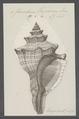 Fasciolaria trapezium - - Print - Iconographia Zoologica - Special Collections University of Amsterdam - UBAINV0274 084 03 0005.tif