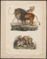 Felis leo - 1834 - Print - Iconographia Zoologica - Special Collections University of Amsterdam - UBA01 IZ22100013.tif