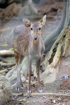 Female Bawean Deer (Axis kuhlii).jpg