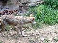 Female Mexican Wolf Cincinnati zoo.JPG
