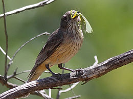 Female Rufous Whistler feeding