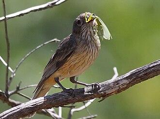 Rufous whistler - Image: Female Rufous Whistler feeding