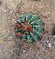 Ferocactus emoryi 'Conville's barrel cactus' (Cactaceae).JPG