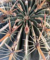 Ferocactus latispinus - areoles and spines.jpg