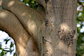 Ficus benjamina (Weeping Fig) trunk in Hyderabad W IMG 8310.jpg