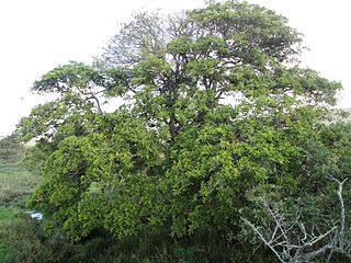 <i>Ficus sur</i> Afrotropical species of fig