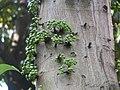 Ficus variegata.JPG