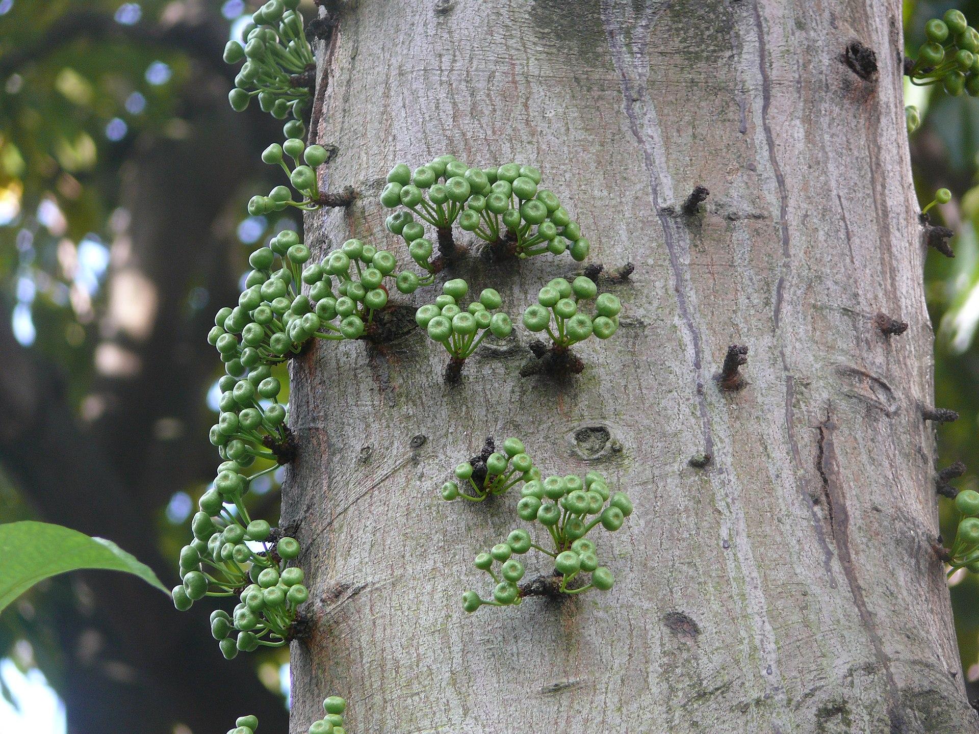 Garden Bush: Ficus Variegata (plant)