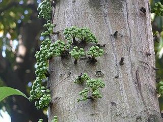 <i>Ficus variegata</i> (plant) species of plant