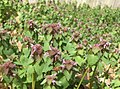 Field of Lamium purpureum with bees.jpg
