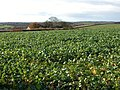 Field of turnips at Ley Cross, Ashreigney - geograph.org.uk - 283497.jpg