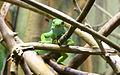 Fijian Banded Iguana (3365782107).jpg