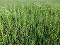 Filago vulgaris sl304.jpg