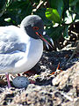 File-Swallow tailed gull and egg.jpg