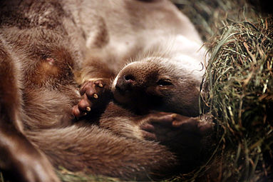 Fischotter (Lutra lutra) Zoo Salzburg 2014.jpg