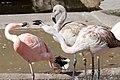 Flamingos 5058.jpg