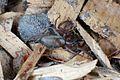 Flattened bark spider, Hemicloea rogenhoferi.jpg