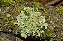 220px-Flavoparmelia_caperata_-_lichen_-_Caperatflechte.jpg