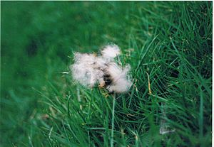 Waterloo Cup - Fleck of hare fur from the last Waterloo Cup meet, February, 2005.
