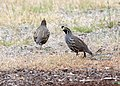 Flickr - Oregon Department of Fish & Wildlife - 2244 california quail munsel odfw.jpg