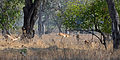 Flickr - ggallice - Fleeing impala.jpg