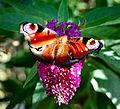 Flickr - ronsaunders47 - butterfly 1.jpg