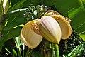 Flower banana.jpg