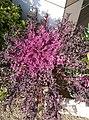 Flowering cabbage7.jpg
