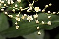 Flowers Black Elder.jpg